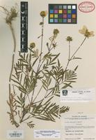 Isotype of Cosmos macvaughii Sherff [family COMPOSITAE]
