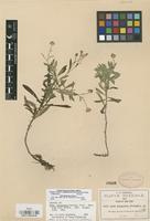 Isotype of Aster jalapensis Fernald [family COMPOSITAE]