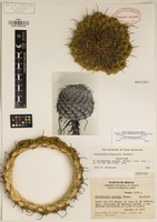 Holotype of Coryphantha grandis Bremer [family CACTACEAE]