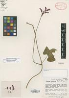 Isotype of Ipomoea gloverae J.A. McDonald [family CONVOLVULACEAE]