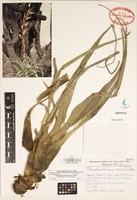 Holotype of Tillandsia takizawae Ehlers & H. Luther [family BROMELIACEAE]