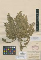 Isotype of Selaginella novoleonensis Hieron. [family SELAGINELLACEAE]
