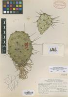Isotype of Opuntia scheinvariana H. Paniagua [family CACTACEAE]
