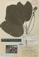 Isotype of Persea matudae Lundell [family LAURACEAE]
