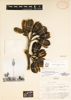 Isotype of Agave scaposa Gentry [family AGAVACEAE]