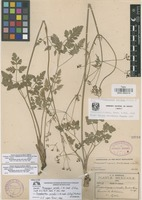 Isolectotype of Museniopsis serrata J.M. Coult. & Rose [family UMBELLIFERAE]