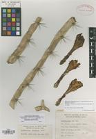 Holotype of Acanthocereus chiapensis Bravo [family CACTACEAE]