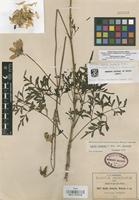 Isotype of Dahlia dissecta S. Watson [family COMPOSITAE]