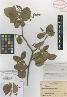 Isotype of Esenbeckia pilosa Lundell [family RUTACEAE]