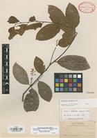 Isotype of Celastrus longipes Lundell [family CELASTRACEAE]