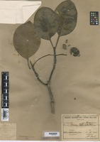 Type of Rauvolfia pentaphylla Ducke [family APOCYNACEAE]