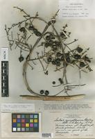 Holotype of Sabal yucatanica L.H.Bailey [family ARECACEAE]