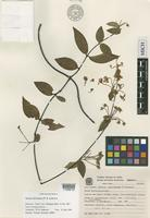 Isotype of Janusia christianeae W.R.Anderson [family MALPIGHIACEAE]