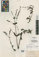 Isotype of Veronica secunda Pennell [family SCROPHULARIACEAE]