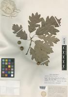 Isolectotype of Quercus ×deamii Trel. [family FAGACEAE]