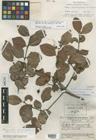 Isotype of Eugenia steyermarkii Standl. [family MYRTACEAE]