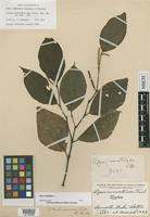 Holotype of Piper rematense Trel. in Standl. [family PIPERACEAE]