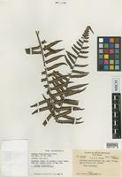 Isotype of Cyathea stipitipinnula Holtt. [family CYATHEACEAE]