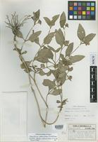 Isotype of Blechum pedunculatum Donn.Sm. [family ACANTHACEAE]