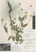 Holotype of Perymenium buphthalmoides var. occidentale McVaugh [family ASTERACEAE]