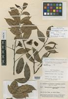 Isotype of Chaunochiton mouririoides A.C.Sm. [family OLACACEAE]