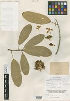 Isotype of Morisonia elliptica Rusby [family CAPPARACEAE]