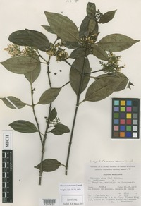 Isotype of Chiococca mexicana Lundell [family RUBIACEAE]