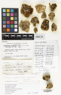 Holotype of Cortinarius bigelowii Thiers & A.H.Sm. [family CORTINARIACEAE]