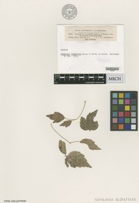 Isotype of Ramularia clematidis Dearn. & Barthol. in Dearn. [family MONILIACEAE]