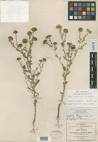 Isotype of Grindelia oxylepis Greene [family ASTERACEAE]