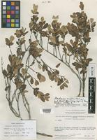 Holotype of Marlierea uniflora McVaugh [family MYRTACEAE]