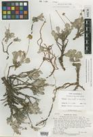Isotype of Eriogonum beatleyae Reveal [family POLYGONACEAE]