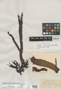 Isotype of Gigartina dichotoma N.L.Gardner [family PHYLLOPHORACEAE]