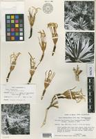 Isotype of Agave inaequidens K.Koch subsp. barrancensis Gentry [family AGAVACEAE]