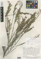Isotype of Otatea fimbriata Soderstr. [family POACEAE]