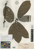 Isotype of Actinodaphne myriantha Merr. [family LAURACEAE]
