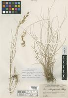 Holotype of Poa ullungdoensis I.C.Chung [family POACEAE]