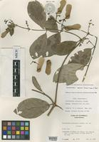 Isotype of Heteropterys petenensis Lundell [family MALPIGHIACEAE]