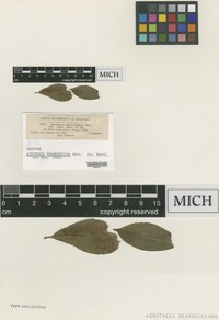 Isotype of Acrotheca dearnessiana Sacc. [family DEMATIACEAE]