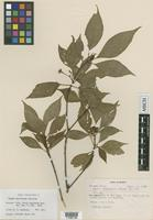 Isotype of Deppea macrocarpa Standl. [family RUBIACEAE]