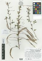 Isotype of Cleome costaricensis Iltis [family CAPPARACEAE]