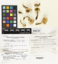Holotype of Hygrophorus vernalis A.H.Sm. [family HYGROPHORACEAE]