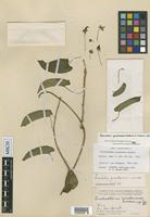 Isotype of Trichostelma yucatanense Woodson [family ASCLEPIADACEAE]