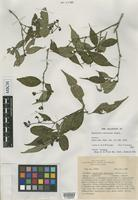 Isotype of Psychotria recordians Standl. [family RUBIACEAE]