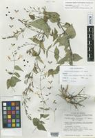 Holotype of Carlowrightia mcvaughii T.F.Daniel [family ACANTHACEAE]