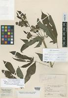 Isotype of Manihot condensata D.J.Rogers & Appan [family EUPHORBIACEAE]