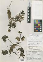 Isotype of Psacalium nanum Pippen [family ASTERACEAE]