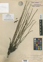 Isotype of Equisetum hyemale L. var. pumilum A.A. Eaton [family EQUISETACEAE]