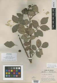 Isolectotype of Rosa deamii Erlanson [family ROSACEAE]