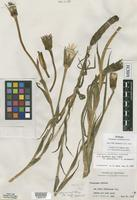 Syntype of Tragopogon ×neohybridus Farw. [family ASTERACEAE]